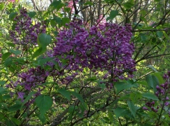 Lilacs in the dooryard