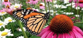 Monarch-Butterfly-on-Coneflower-950-e1366894132185