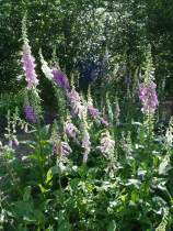 foxgloves in the shade