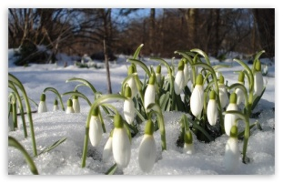 aptly named-snowdrops